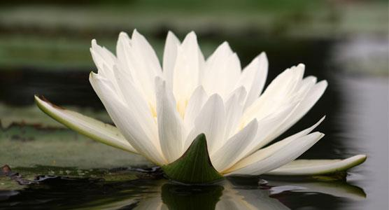 Image of water lily linking to the Funeral Section