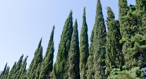 Image of cypress trees linking to the Cremation Section